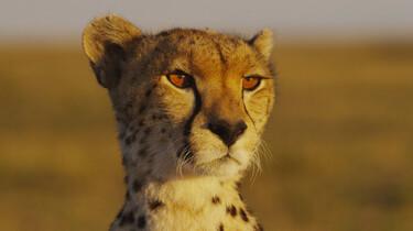 Szenenbild: Die Gepardin Maleika: Ihr Kopf in Großaufnahme