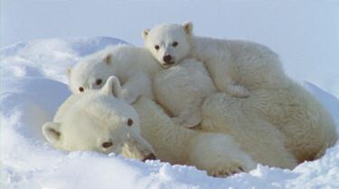 """Szenenbild: Eisbärenweibchen """"kuschelt"""" mit zwei Eisbärenbabys"""
