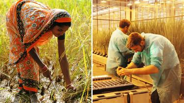 Splitscreen Szenenbild: Reis ernternde Frau und Szene im Gewächshaus
