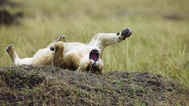 Szenenbild: Ein junger Löwe wälzt sich mit gespreizten Bein und offenem Maul