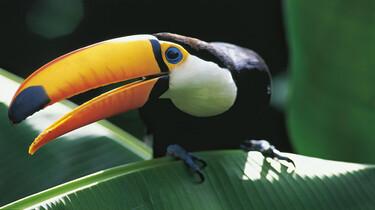 Szenenbild: Tropischer Vogel (Tukan) auf einem grünen Blatt