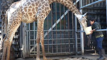 Der Junge Ziad füttert eine Giraffe.