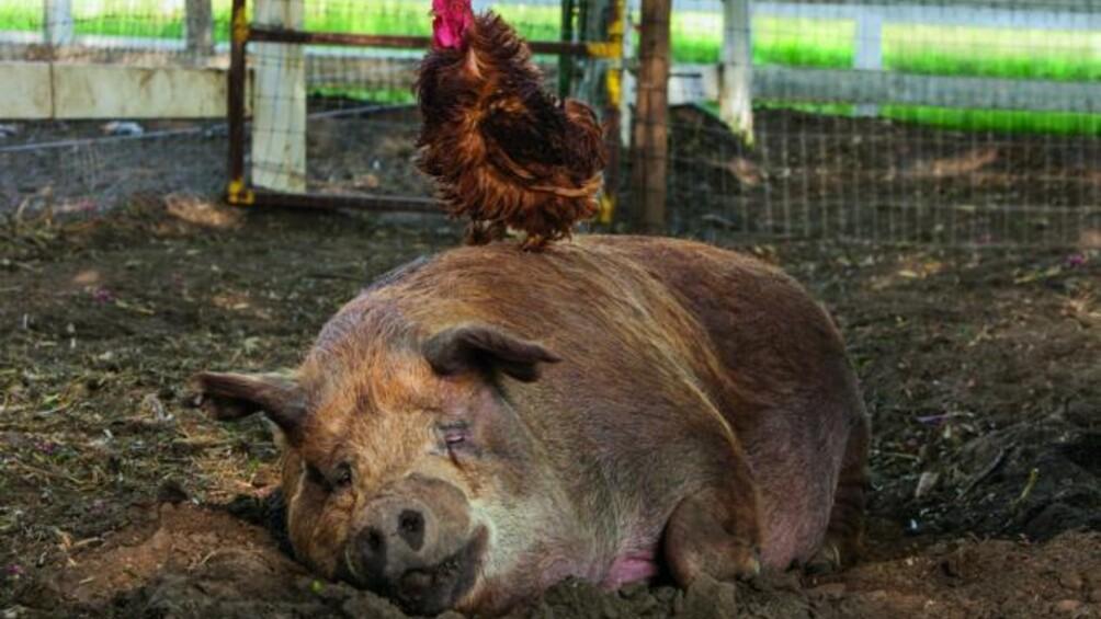 Ein Schwein liegt in seinem Stall auf dem Boden. Auf ihm sitzt ein Huhn.
