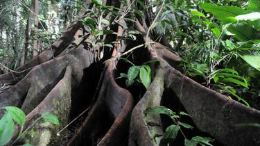 Szenenbild: Wurzeln eines Urwaldriesens